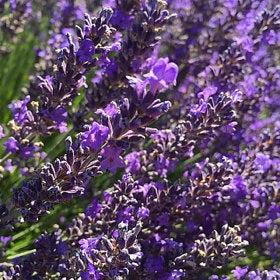Miller Lavender